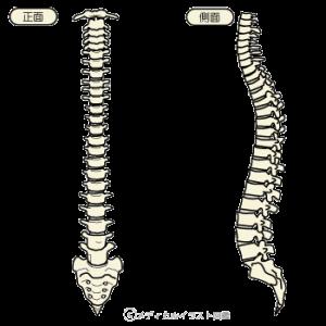 肩こり説明用脊椎